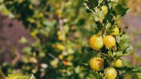Незрелые ягоды все еще зеленые вишни на дереве сток-видео