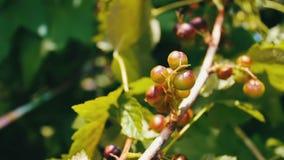 Незрелые ягоды все еще зеленые вишни на дереве видеоматериал