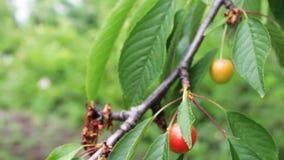 Незрелые ягоды все еще зеленые вишни на дереве акции видеоматериалы