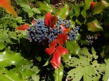 Незрелые ягоды падуба в июне стоковые фото