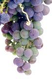 Незрелая виноградина Стоковые Изображения