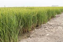 Незрелая плантация риса Стоковое Фото