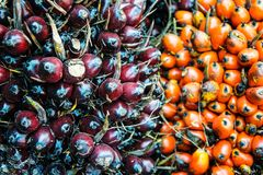 Незрелое пальмовое масло Стоковое фото RF