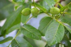 Незрелое regia Juglans грецкого ореха и дерева грецкого ореха Стоковое фото RF