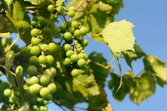 Незрелые виноградины на ветви Стоковое Изображение