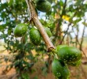 Незрелые зеленые кофейные зерна Стоковая Фотография