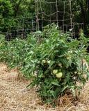 Незрелые зеленые томаты на здоровых сочных заводах поддержанных клетками провода Стоковые Фото