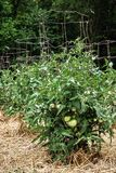 Незрелые зеленые томаты на здоровых сочных заводах поддержанных клетками провода Стоковая Фотография RF