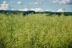 Незрелые семена рапса Поле зеленого рапса семени масличной культуры спелости изолированного на пасмурном голубом небе в временени Стоковые Изображения RF