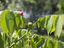 Незрелый грецкий орех ягод обрабатываемые пестициды Стоковое Изображение RF