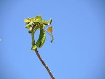Незрелый плодоовощ дерева carob Стоковая Фотография