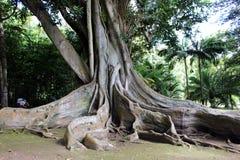 Неизвестный турист рассматривает воздушные корни фикуса & x28; banyan& x29; в ботаническом саде на острове San Miguel Стоковые Изображения