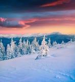 Неимоверное sunrisise зимы в прикарпатских горах с tre ели Стоковое Изображение RF
