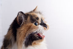 нейтраль кота предпосылки Стоковая Фотография