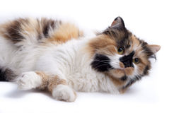 нейтраль кота предпосылки Стоковые Изображения