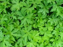 Нейтральная абстрактная флористическая предпосылка красивых листьев гераниума Palmatipartite формы Стоковые Фотографии RF