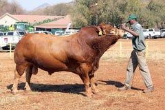 Некооперативный бык Dexter быть руководством в арене обработчиком Стоковые Изображения RF