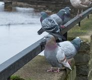 Некоторое общее Pidgeons в Шотландии Стоковые Фото