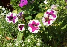 Некоторое смешивание покрасило петуньи цветков как улыбка на flowerbed Стоковые Фотографии RF