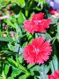 Некоторые зацветая турецкие красные гвоздики Стоковые Изображения