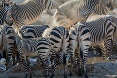 Некоторые зебры подпирают на waterhole Стоковое фото RF