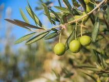 Некоторые зеленые оливки на ветви оливкового дерева в Хорватии Стоковое Фото