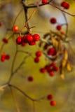 Некоторые зрелые ягоды рябины на ветви Стоковое Изображение