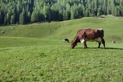 Некоторые коровы в выгоне в Ahrntal в Италии Стоковое фото RF