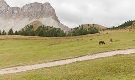 Некоторые коровы в выгоне в di Funes Val в Италии Стоковое Изображение