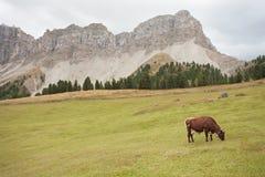 Некоторые коровы в выгоне в di Funes Val в Италии Стоковое Изображение RF