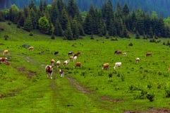 Некоторые коровы на горах Стоковые Фотографии RF