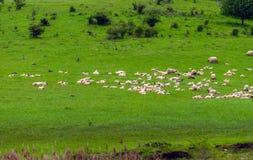 Некоторые коровы на горах Стоковые Изображения RF