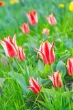 Некоторые красивейшие тюльпаны Стоковые Фотографии RF