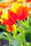 Некоторые красивейшие тюльпаны Стоковое фото RF