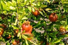Некоторые красивые гранатовые деревья на дереве в листьях Плодоовощ венисы Стоковая Фотография RF