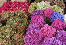Некоторые красивые hortensias стоковые фотографии rf