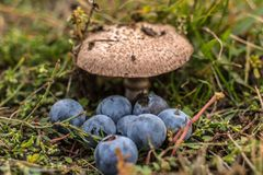Некоторые одичалые грибы и ягоды в лесе Стоковая Фотография RF
