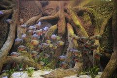 Некоторые оранжевые Piranhas в горячий Стоковые Фото