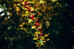 Некоторые плоды шиповника Стоковые Изображения RF