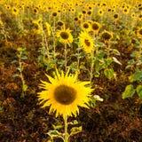 Некоторые солнцецветы Стоковое Изображение