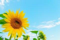 Некоторые солнцецветы Стоковые Изображения