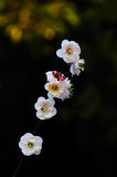 Некоторые цветения сливы Стоковое фото RF