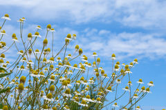 Некоторые цветки на луге Стоковое Изображение