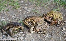 Некоторые лягушки делая влюбленность Стоковые Фото