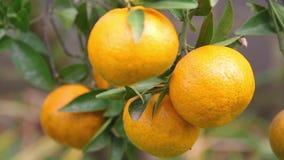 Некоторые tangerines готовые для еды видеоматериал