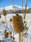 Некоторые thistles в зиме в французских Альпах Стоковые Изображения RF