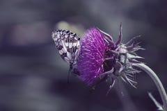 Нектар бабочки выпивая на розовых цветках Стоковые Фото