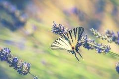Нектар красивой бабочки Swallowtail выпивая Стоковые Фото