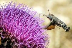 Нектар насекомого колибри выпивая Стоковые Фотографии RF