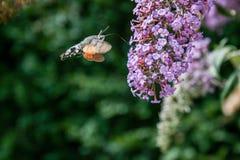 Нектар питья бабочки на цветках Стоковое Изображение RF